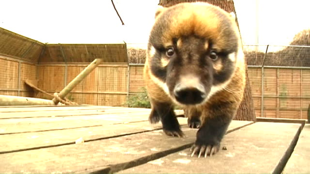 Amorous Coati at Battersea Park Zoo ENGLAND London Battersea Park Zoo EXT Male Coati inside zoo enclosure One male and two female Coatis grazing in...