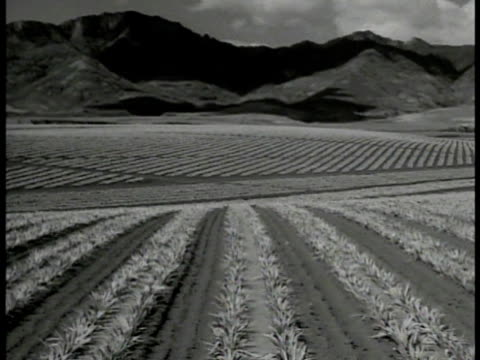 ws pineapple field mountains bg ws hawaiian workers leaving pineapple plantation ws cowboy on horseback watching cattle grazing ws cattle moving over... - 1937 stock videos and b-roll footage
