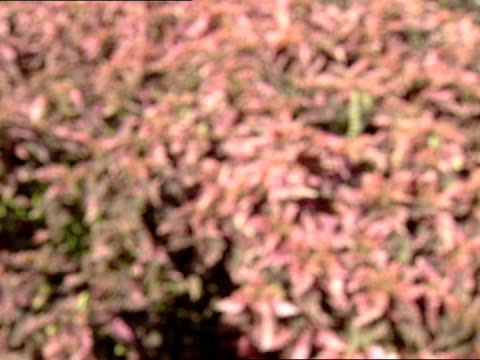 amp; lake eola, florida: from red leaves of bush to reveal bed of red and yellow bushes , lake eola and cityscape of downtown orlando in bg. - red lake stock videos & royalty-free footage