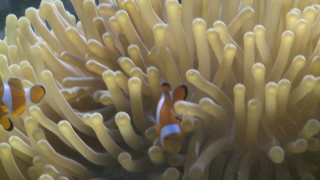 amphiprion ocellaris - clown anemonefish in anemone - feeding behaviour.  - sea anemone stock videos and b-roll footage