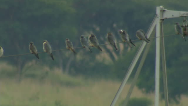 amur falcon migration and roosts/ johannesburg/ south africa - ハウテング州点の映像素材/bロール