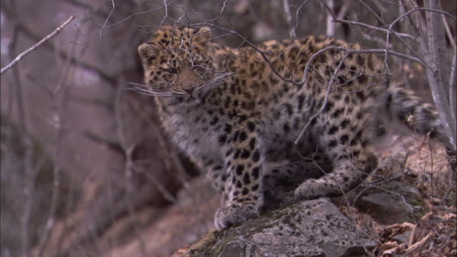amur leopard cub looks around in forest, russia - leopard stock videos & royalty-free footage