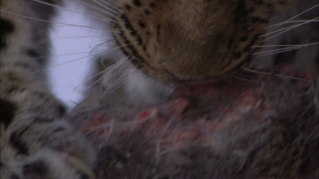 amur leopard feeds on deer carcass in snowy forest, russia - 動物の足点の映像素材/bロール