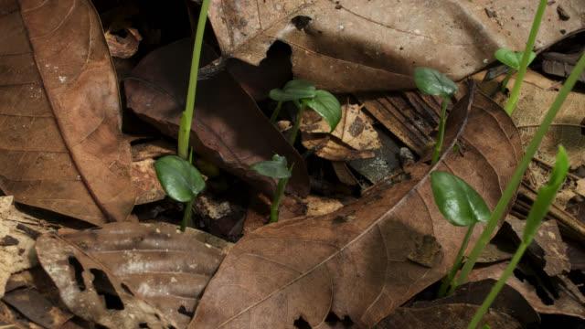 vídeos de stock e filmes b-roll de tl amydrium seedlings sprout on forest floor, uk - germinação