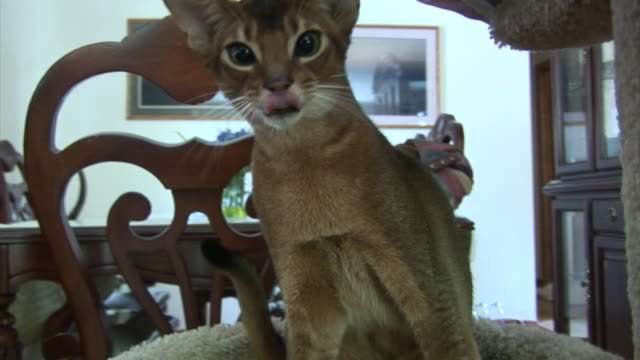 an abyssinian kitten plays and swats at the air. - fly swat stock videos & royalty-free footage