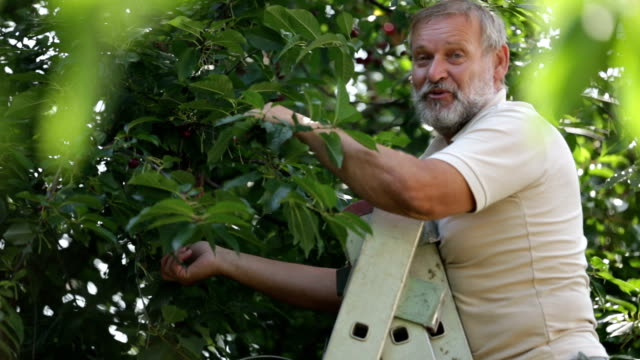 vidéos et rushes de an active senior during cherry picking - verger