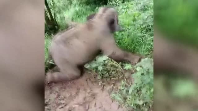 vidéos et rushes de an adorable baby elephant has become an internet sensation after footage of it enjoying a muddy hill slide at a rescue center in southwest china's... - mignon