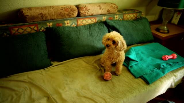 ベッドの上で朝起きた後、自分自身と一緒にリラックス愛らしい茶色のプードル犬 - 室内装飾点の映像素材/bロール