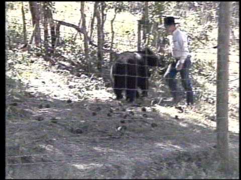 / an adult black bear attacks his trainer at the wildlife preserve near chama, new mexico after the trainer hits him on the nose / man goes into bear... - くま点の映像素材/bロール
