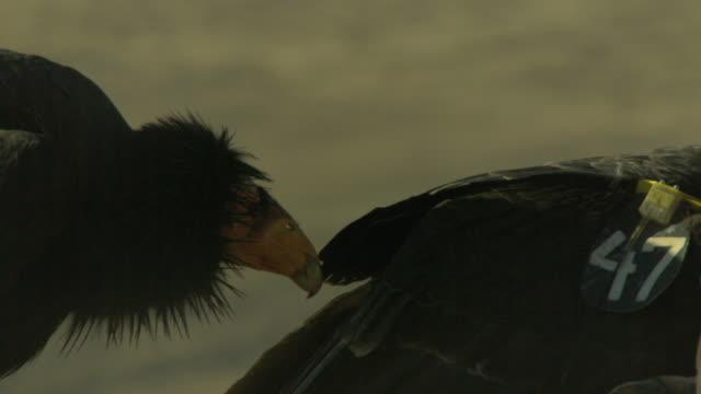 an adult california condor biting younger bird - california condor stock videos and b-roll footage