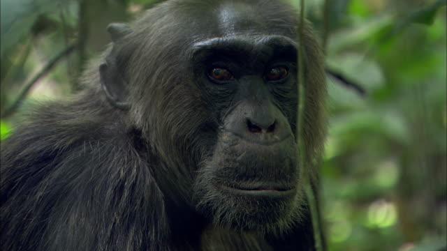 an adult chimpanzee surveys his surroundings. - wachsamkeit stock-videos und b-roll-filmmaterial