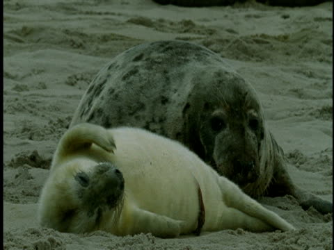 an adult grey seal watches her pup as it sleeps fitfully on a beach. - seal pup stock videos and b-roll footage