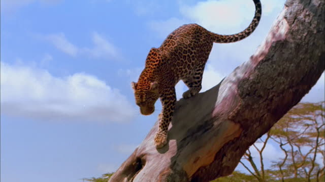 an adult leopard climbs down a tree. - ヒョウ点の映像素材/bロール