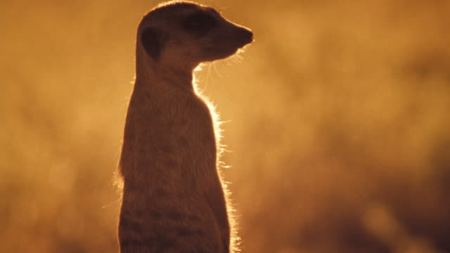 an adult meerkat stands next to a litter of pups in the kalahari desert. available in hd. - カラハリ砂漠点の映像素材/bロール