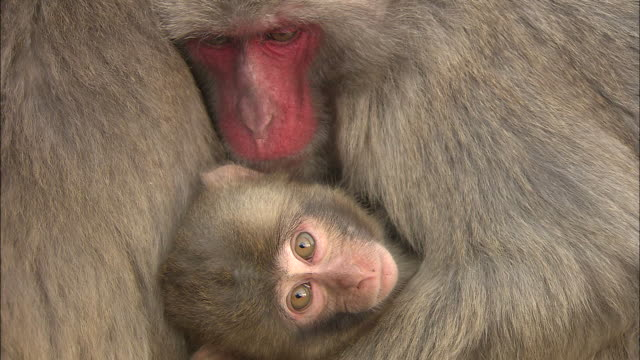 An adult monkey lovingly snuggles its child.