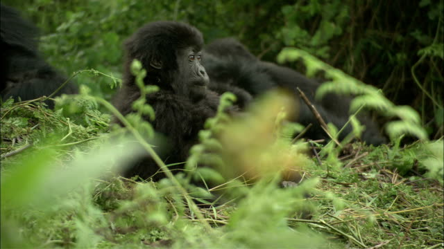 an adult mountain gorilla chases a juvenile from a clearing. - male animal stock videos & royalty-free footage