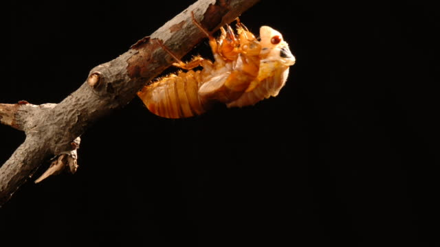 vidéos et rushes de an adult periodic cicada emerges from its nymph stage. available in hd. - cocon