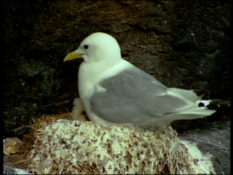 An adult seagull sits in it's nest feeding it's young.