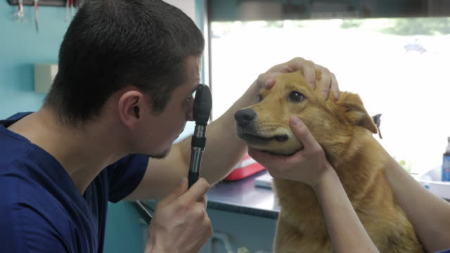an adult veterinarian examines the dog. - medical scanning equipment stock videos & royalty-free footage