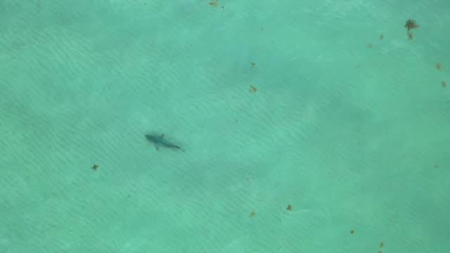 vídeos de stock e filmes b-roll de an aerial drone view as a blacktip shark swims off of south beach on june 10, 2020 in miami beach, florida. blacktips and other species of shark are... - tubarão galha preta