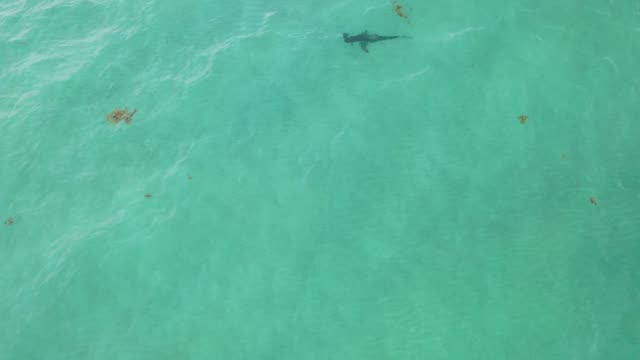 an aerial drone view as a blacktip shark swims off of south beach on june 10 2020 in miami beach florida blacktips and other species of shark are... - shark stock videos & royalty-free footage