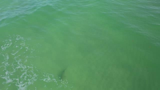 vídeos de stock e filmes b-roll de an aerial drone view as a blacktip shark swims off of south beach on may 29, 2020 in miami beach, florida. blacktips and other species of shark are... - tubarão galha preta