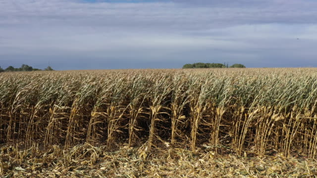 an aerial view from a drone shows corn on the stalk as workers harvest it from a field at the hansen family farms on october 12, 2019 in baxter,... - field stock videos & royalty-free footage