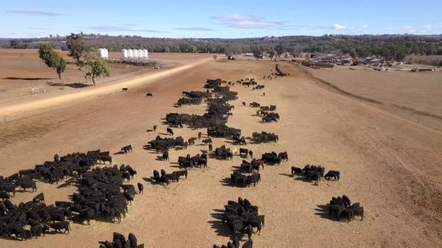 An aerial view of a cattle feeding operation on the property 'Toorawandi' near Coonabarabran New South Wales Australia on 19 June 2018 The farm is...