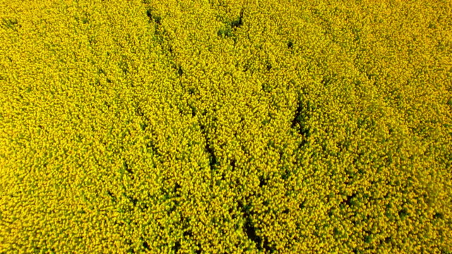 vídeos de stock, filmes e b-roll de an aerial view of canola growing in a field - david ewing