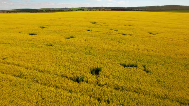An Aerial view of Canola growing in a field