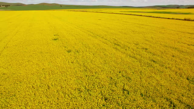 an aerial view of canola growing in a field - david ewing stock-videos und b-roll-filmmaterial