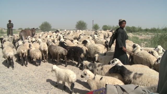an afghan elder pushes his bicycle past shepherds as they herd sheep. - shepherd stock videos & royalty-free footage