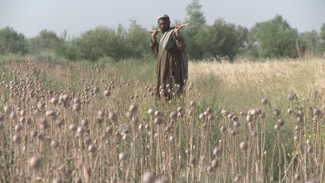 vidéos et rushes de an afghan farmer checks on his poppy crop. - afghanistan