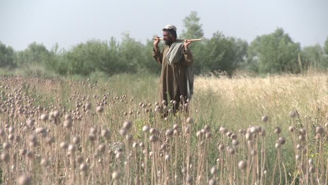 An Afghan farmer walks in a poppy field.