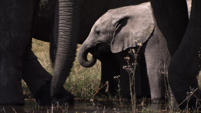 vídeos y material grabado en eventos de stock de an african elephant calf stands in the water with its herd and uses its trunk to get a drink. available in hd. - zoología