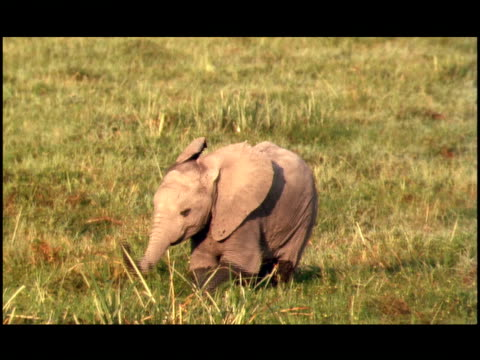 vidéos et rushes de an african elephant calf wags its trunk and walks in mud. - nez d'animal