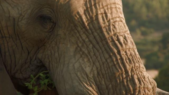 vídeos y material grabado en eventos de stock de an african elephant chews a mouthful of grass. available in hd. - zoología