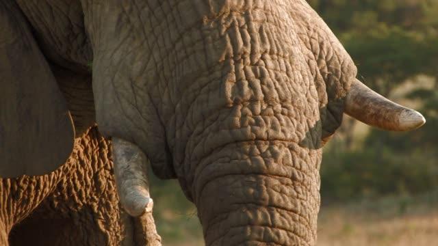 vídeos y material grabado en eventos de stock de an african elephant eats grass. available in hd. - zoología
