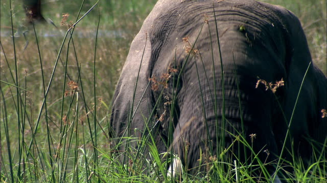An African elephant flaps its ears as it pulls up tall grasses with its trunk and eats it. Available in HD.