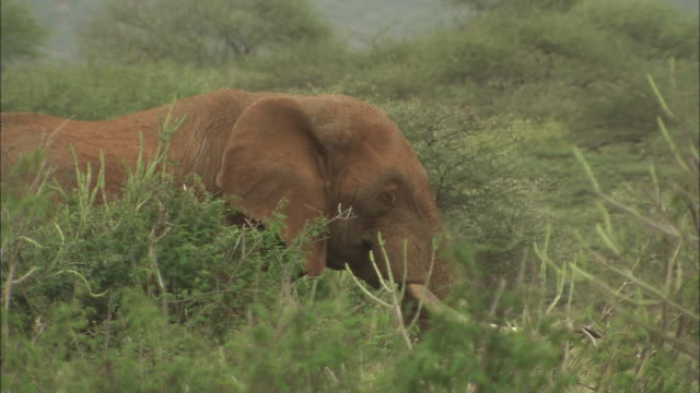 An African elephant grazes amongst bushes.