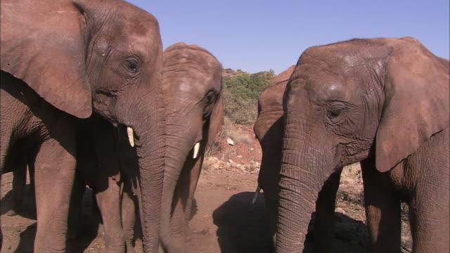 vidéos et rushes de an african elephant herd stands together. - nez d'animal