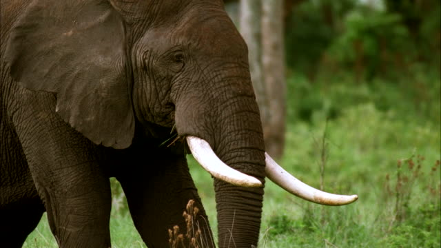An African elephant munches grass. Available in HD.