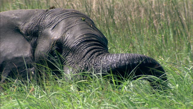 vídeos y material grabado en eventos de stock de an african elephant pulls up marsh grasses with its trunk and eats them. available in hd. - zoología
