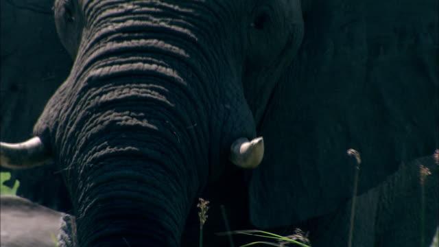 vídeos y material grabado en eventos de stock de an african elephant puts grass in his mouth with his trunk and eats it. available in hd. - zoología