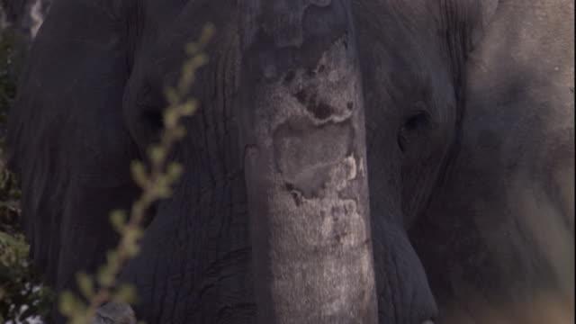 vídeos y material grabado en eventos de stock de an african elephant stands behind a slender tree. available in hd. - nariz de animal
