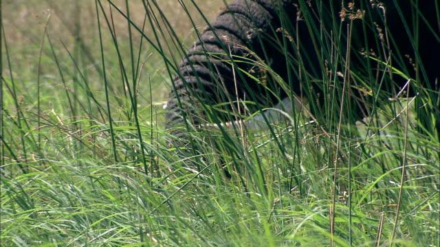 vídeos y material grabado en eventos de stock de an african elephant uses its trunk to eat marsh grasses. available in hd. - zoología