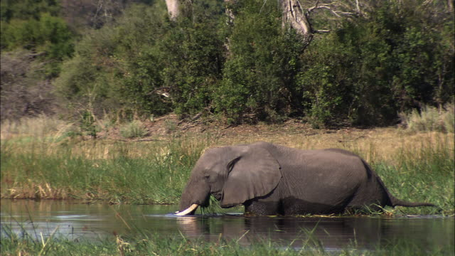 vídeos y material grabado en eventos de stock de an african elephant wades through a marshy pool of water as it chews a mouthful of grass. available in hd. - zoología