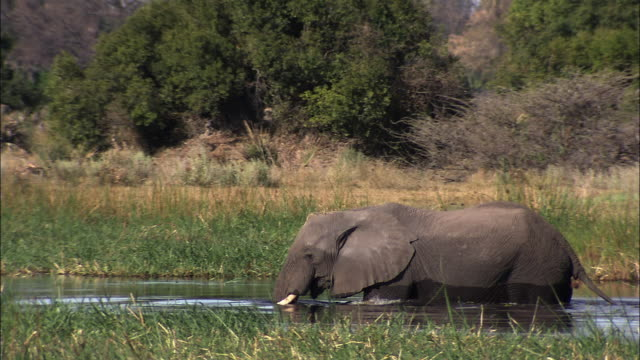 vídeos y material grabado en eventos de stock de an african elephant wades through a marshy pool of water as it chews on something in its mouth. available in hd. - zoología