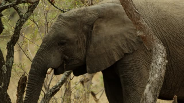 an african elephant walking through densely wooded savannah - herbivorous stock videos & royalty-free footage