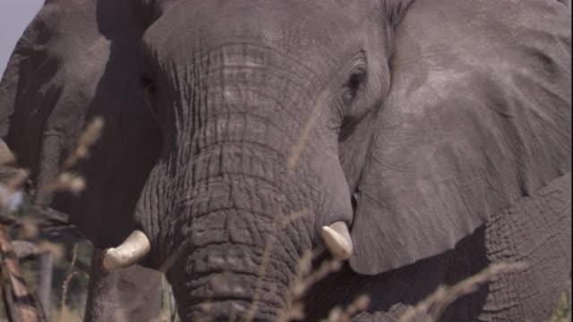 vídeos y material grabado en eventos de stock de an african elephant walks through tall grass in botswana. available in hd. - nariz de animal